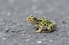 Frog on road Stock Images