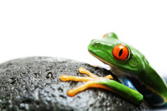 Frog on rock Royalty Free Stock Photos