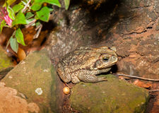 Frog on a Rock Farm Rio Grande do Sul Brazil Royalty Free Stock Photography