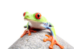 Frog on a rock isolated. Red-eyed tree frog on a rock, closeup isolated on white. Agalychnis callidryas Stock Photos