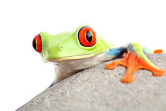 Frog on a rock isolated stock photos