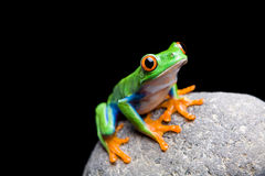Frog on a rock isolated. Frog on a rock closeup isolated on black. Red-eyed tree frog Stock Photo