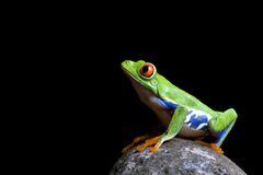 Frog on rock isolated black Royalty Free Stock Image
