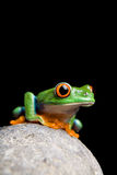 Frog on rock isolated black Royalty Free Stock Photos