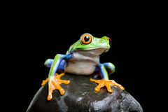 Frog on a rock isolated black. Frog on a rock closeup and isolated on black - red-eyed tree frog (Agalychnis callidryas Royalty Free Stock Images