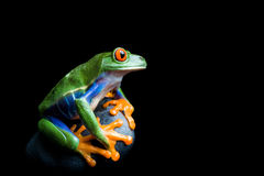 Frog on a rock isolated on black. Frog on a rock - a red-eyed tree frog clinging to his rock, isolated on black Royalty Free Stock Photography