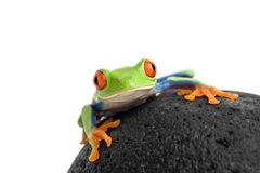 Frog on a rock isolated white royalty free stock photos