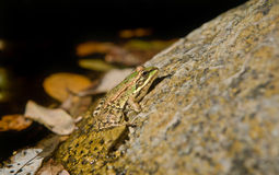 Frog on rock Stock Images