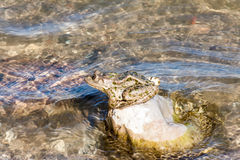Frog on a rock Royalty Free Stock Photography
