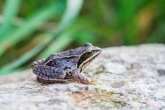 Frog on rock Stock Photography