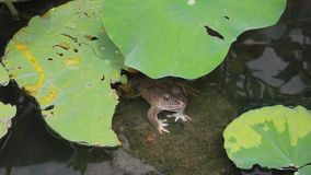 Frog on a rock stock video