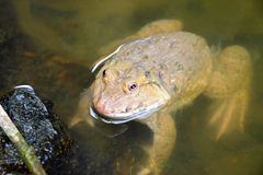 Frog_2 Stock Photography