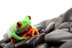 Frog on the rocks isolated Stock Photo