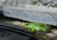 Frog on the rocks near a pond Stock Image