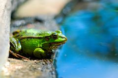 Frog on the rocks near a pond Stock Photo