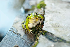 Frog on the rocks near a pond. Frog on the rocks near small pond Stock Photos