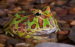 Frog in rocky pond stock photos