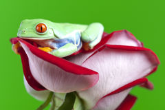 Frog on rose Stock Photo
