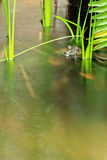 Frog in Running Water, Closeup Royalty Free Stock Image