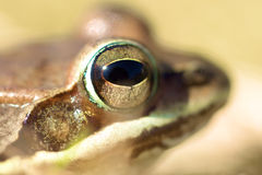 Frog's Head. A frog's head with only it's eye in focus Royalty Free Stock Photography