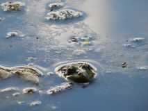 Frog`s head peeps out of the water. Nature summer amphibian animal frog head peeps out of the lake water Stock Photo