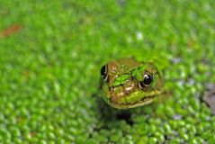 Frog's head in pond weed stock image