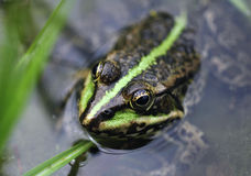 frog's head in the water Stock Image