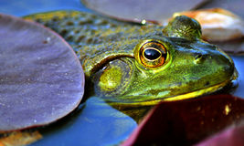 Frog's look... Royalty Free Stock Images
