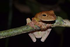 The frog of Sabah, Borneo. royalty free stock photo