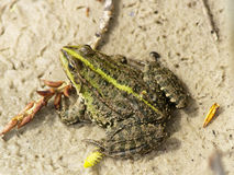 Frog on the sand Stock Image