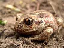 Frog and sand Royalty Free Stock Images