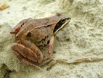 The frog on the sand Stock Images