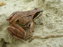 The frog on the sand Stock Photo
