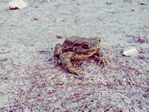Frog on sand Stock Photography