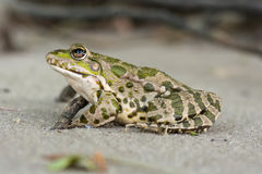 Frog on the sand Royalty Free Stock Images