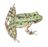 Frog-schmaker frog Royalty Free Stock Images