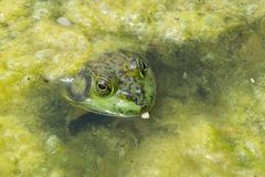 Frog in Scum. Frog sitting happily in pond scum Stock Photo