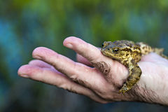 Frog. Seen in human hand stock photos