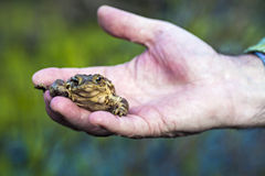 Frog. Seen in human hand stock images