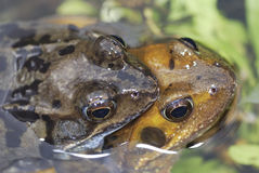 Frog sex Royalty Free Stock Image