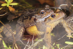 Frog sex Royalty Free Stock Photography