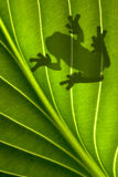 Frog Shadow. A tree frog is sitting on a backlit leaf that is shot from underneath. Only his shadow is showing Royalty Free Stock Photos