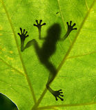 Frog shadow. Frog of shadow on the leaf Stock Photos