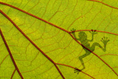 Frog shadow on the green leaf Royalty Free Stock Photo