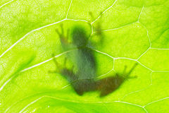 Frog shadow on the leaf Royalty Free Stock Image