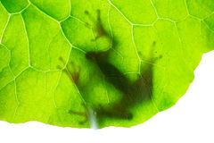 Frog shadow on the leaf. Close up Stock Images