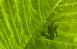 Frog shadow on the leaf. Frog shadow on the green leaf Stock Photos
