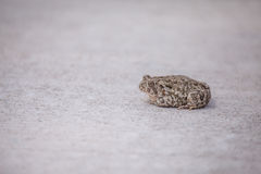 Toad on sidewalk Royalty Free Stock Images
