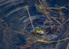 Frog sings a spring song Stock Photos