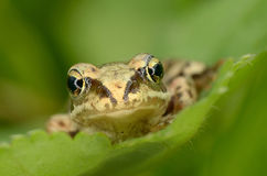Frog sit on green leaf Stock Photography
